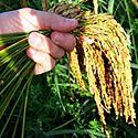Declaran en Panamá el arroz cultivo de seguridad alimentaria