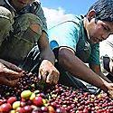 El 71  del trabajo infantil en el mundo está relacionado con la agricultura