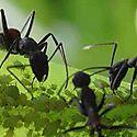 Las hormigas sacrifican a las enfermas para evitar epidemias en sus colonias