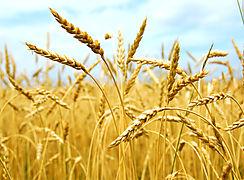 Dirección de Agroindustrias innova en procesos para la producción de harina