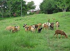 MIDA ejecutará programas de ganadería en IPT de Caimito en Coclé