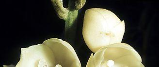 Orquídeas tropicales estrategas en busca de más luz