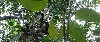 Las lianas reprimen la producción de frutas y semillas en los bosques tropicales