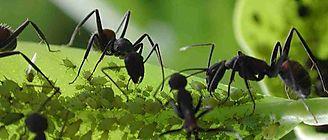 Así conviven hormigas de diversas especies en el mismo territorio