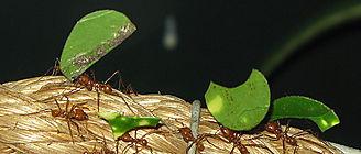 Por qué las hormigas trabajan en equipo