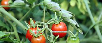 Tomates de calidad con menos agua de riego