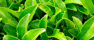 Completan secuenciación del genoma de planta del té