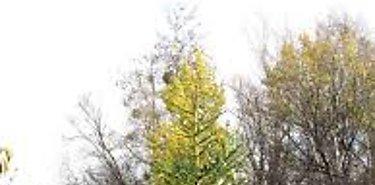Técnicos del MIDA inspeccionan arbolitos en Canadá y EEUU