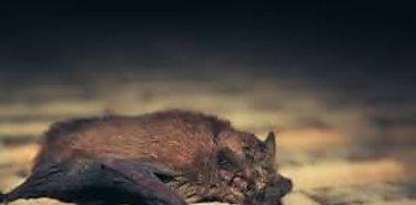 Salud Animal realiza labores de captura de murciélagos hematófagos en Panamá Este