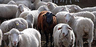 Cómo conseguir una leche de oveja más saludable y rentable