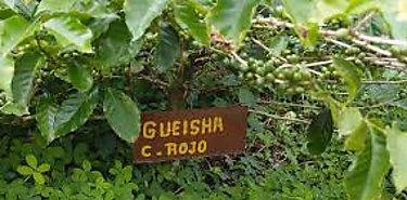 Café geisha panameño busca incrementar su presencia en el mercado asiático