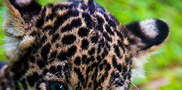 Panamá adelanta nuevos programas para la conservación del jaguar