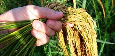 70 Millones invertidos en compra de arroz