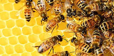 La miel de una abeja sin aguijón tiene proteínas antibacteriales
