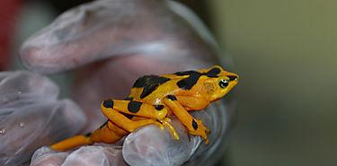 Ciencia ofrece esperanza de vida a rana endémica de Panamá