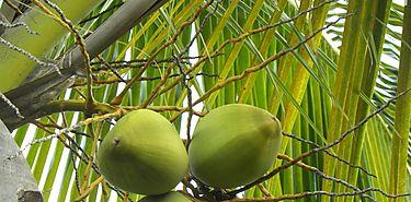 Cuidado con el aceite de coco