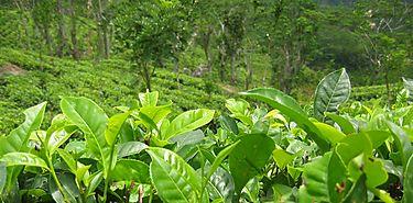 Investigadores chinos concluyen secuenciación de genoma de hojas de té