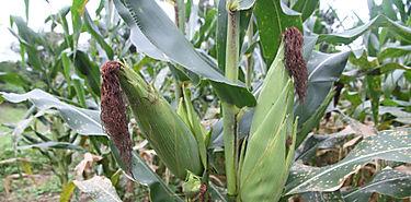 Científicos descubren tecnología para controlar plaga de maíz en Africa