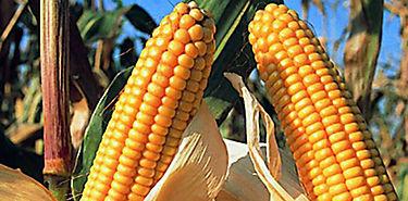 Siembra de maíz transgénico en manos de justicia mexicana