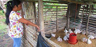 Red Territorial de Las Marías en Chiriquí cría pollos y cultiva hortalizas