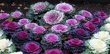 Nuevos colores de flores de col para promover turismo