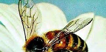 Más reconocimiento mundial para las abejas desde Naciones Unidas