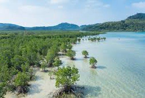 Investigadores resaltan la importancia del manglar en Panamá