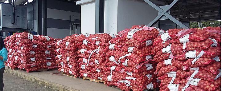 IMA mantiene compra de cebolla a productores de Natá