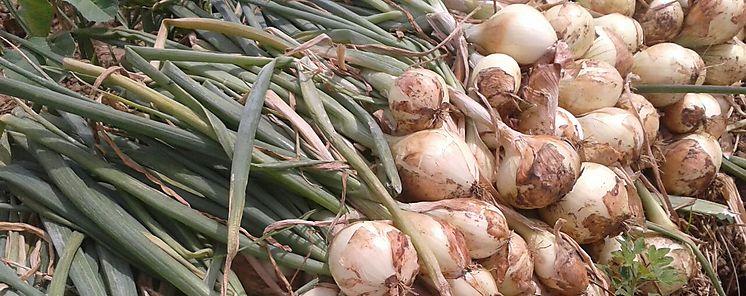 Productores de cebolla beneficiados con entrega de semillas