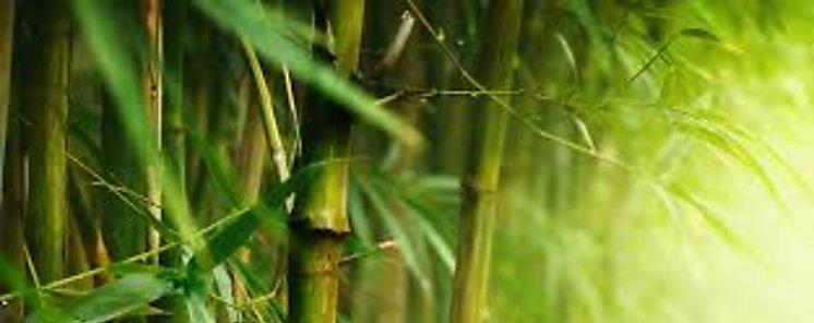 Cañas para fabricar tableros de madera más sostenibles