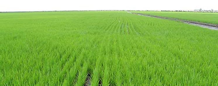 Cultivo de arroz data de unos 10 mil años indica estudio