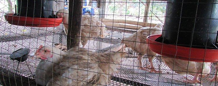 El mayor proveedor de pollo de EEUU prevé usar cámaras de gas