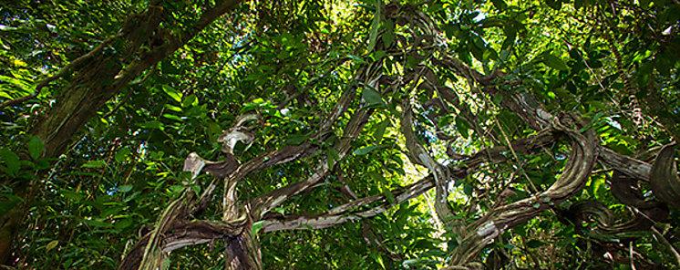 Los árboles tropicales acumulan altas tasas de carbono en la vejez