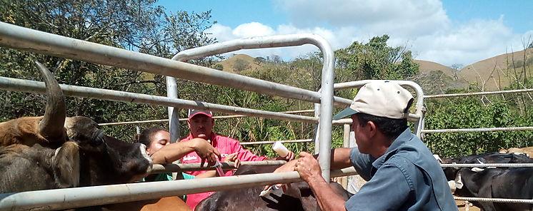 Avanza el programa de vacunación bovina en Los Santos