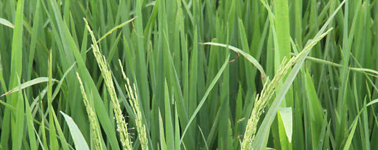 Resulta exitoso experimento chino de cultivo de arroz en suelo salino