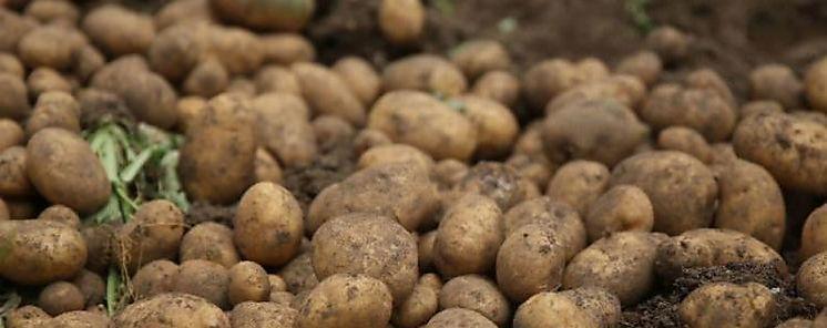 MIDA e IDIAP implementan programa con semillas de papas de alta calidad