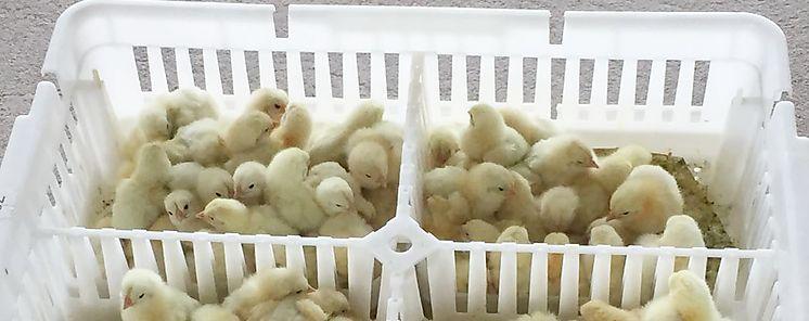 En Chiriquí MIDA distribuye pollos de engorde