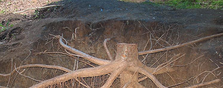 Las raíces de árboles tropicales representan una reserva de carbono poco apreciada
