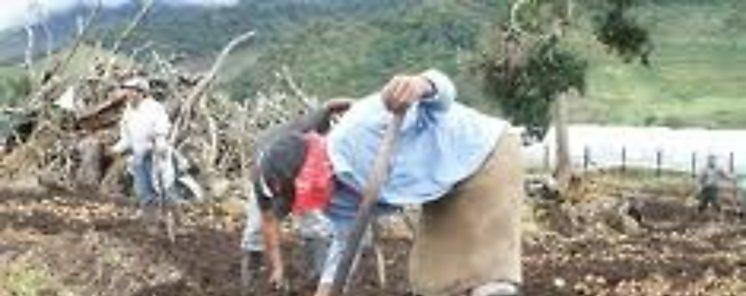 Establecen nuevas parcelas de papas en Herrera