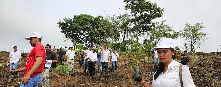 20 mil voluntarios a nivel nacional  reforestan Panamá